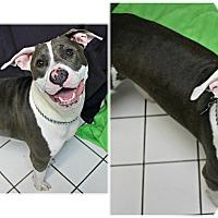 Adopt A Pet :: Dusse - Forked River, NJ
