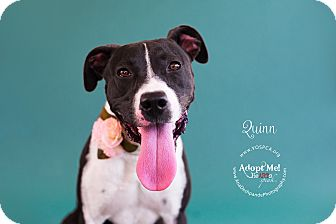 Border Collie/Pit Bull Terrier Mix Dog for adoption in Visalia, California - Quinn