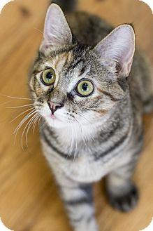 Domestic Shorthair Kitten for adoption in Chicago, Illinois - Mari