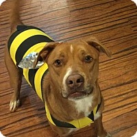 Adopt A Pet :: Bo Dog - Marietta, GA