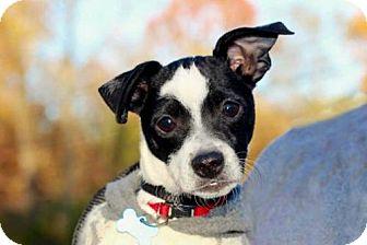 Rat Terrier Mix Puppy for adoption in Salem, New Hampshire - PUPPY PEETA