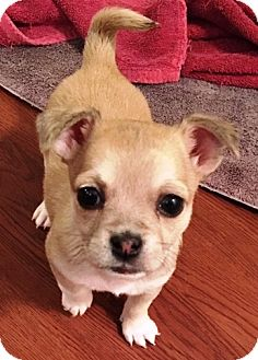 "Maltese/Yorkie, Yorkshire Terrier Mix Puppy for adoption in Oswego, Illinois - I'M ADOPTED Miracles ""Rosie"""