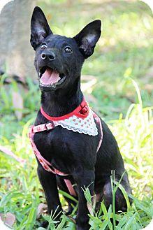 Shepherd (Unknown Type)/Labrador Retriever Mix Puppy for adoption in Castro Valley, California - Cleo