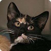 Adopt A Pet :: Tortie - Toronto, ON