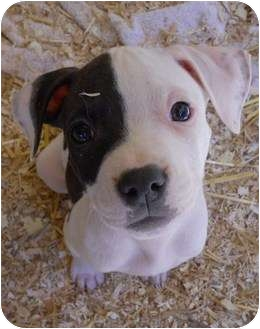 American Pit Bull Terrier Mix Puppy for adption in Seattle, Washington ...