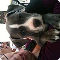 Adopt A Pet :: Scout - Des Peres, MO