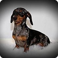 Adopt A Pet :: Taz - Toronto, ON