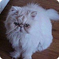 Adopt A Pet :: Fluffles - Beverly Hills, CA