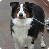 Adopt A Pet :: Scout - Scottsdale, AZ