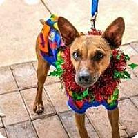 Adopt A Pet :: Ce Ce - Austin, TX