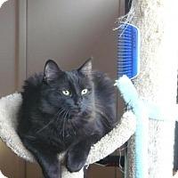 Domestic Mediumhair Cat for adoption in Burlington, Ontario - Coal