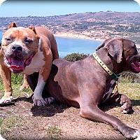Adopt A Pet :: BeefCake - Hermosa, CA