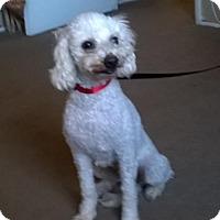 Adopt A Pet :: Holly - Campbell, CA