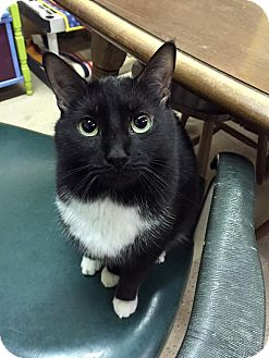 Domestic Shorthair Cat for adoption in Blasdell, New York - Mittens Too