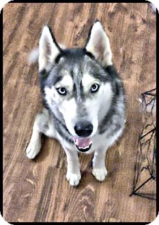Siberian Husky Dog for adoption in Monument, Colorado - Everest - Adoption Pending!
