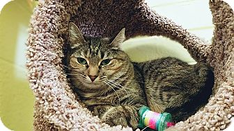 Domestic Shorthair Cat for adoption in Edwards AFB, California - Cutie
