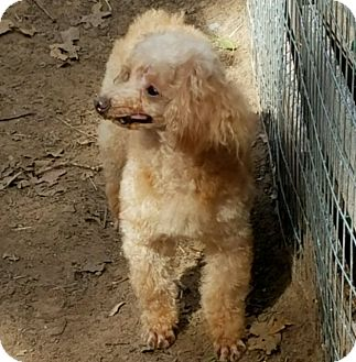 Toy Poodle Dog for adoption in Hurst, Texas - Moonshine