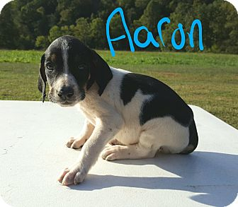 Beagle Mix Puppy for adoption in Niagra Falls, New York - Aaron