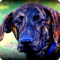 Mastiff/Shepherd (Unknown Type) Mix Puppy for adoption in Glastonbury, Connecticut - Timber