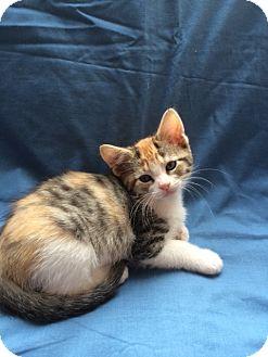 Domestic Shorthair Kitten for adoption in Burlington, Washington - Luna