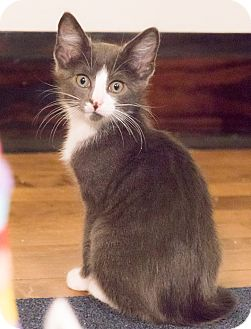 Domestic Shorthair Kitten for adoption in Chicago, Illinois - Calder