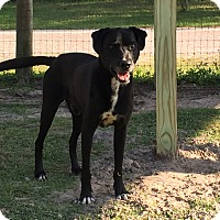 Labrador Retriever Mix Dog for adoption in Odessa, Florida - ELVIS