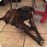 Mountain Cur Mix Dog for adoption in Von Ormy, Texas - Scarlett(CPA)