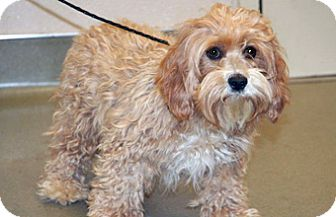 Cockapoo Mix Dog for adoption in Wildomar, California - Dolly
