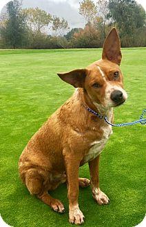 Cattle Dog Puppy for adoption in San Diego, California - RAIDER