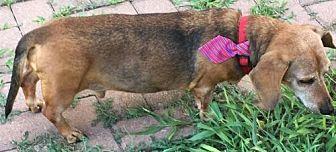 Dachshund Dog for adoption in Humble, Texas - Lorenzo