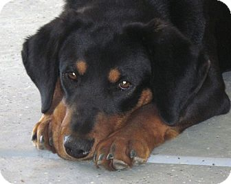 Black and Tan Coonhound Mix Puppy for adoption in Sacramento area, California - Jim Bob