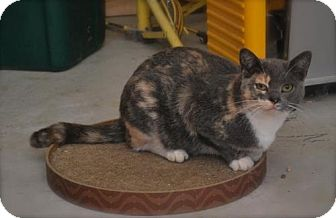 Calico Cat for adoption in Trevose, Pennsylvania - Blossom