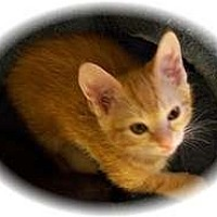 Adopt A Pet :: Tang - Shelton, WA