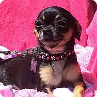 Adopt A Pet :: Chica - Vacaville, CA