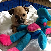 Adopt A Pet :: Baby Snap 2 lbs - Marlton, NJ