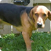Adopt A Pet :: Louie - Staunton, VA