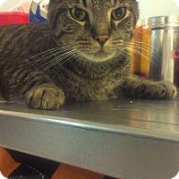 Adopt A Pet :: Baby Cat - Muskegon, MI