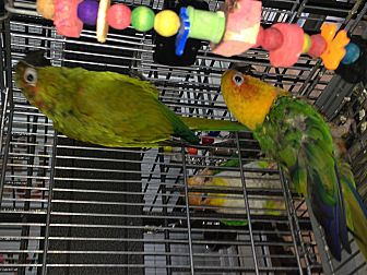Conure for adoption in Punta Gorda, Florida - Rainier & Sequoia