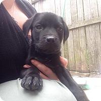 Adopt A Pet :: Romeo - Wappingers, NY