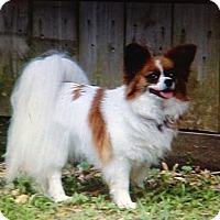 Adopt A Pet :: Pipa - conroe, TX