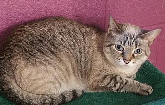Siamese Cat for adoption in Crossville, Tennessee - Mattie