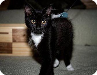 Maine Coon Kitten for adoption in BROOKSVILLE, Florida - J.Z. Redland