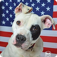 American Staffordshire Terrier Mix Dog for adoption in Golsboro, North Carolina - SIZZLE