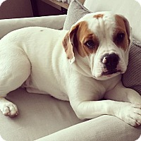 Adopt A Pet :: Hulk - New York, NY