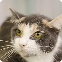 Domestic Shorthair Cat for adoption in Adrian, Michigan - Juno