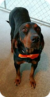 Black and Tan Coonhound Dog for adoption in Sweetwater, Tennessee - Elijah