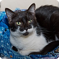 Domestic Shorthair Cat for adoption in Wilmington, Delaware - Patty