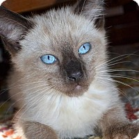 Siamese Kitten for adoption in Florence, Kentucky - Thor