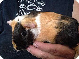 Guinea Pig for adoption in South Bend, Indiana - Smores