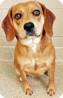 Beagle Mix Dog for adoption in Oswego, Illinois - Lucille